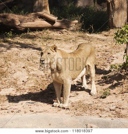 Female Lion Walking