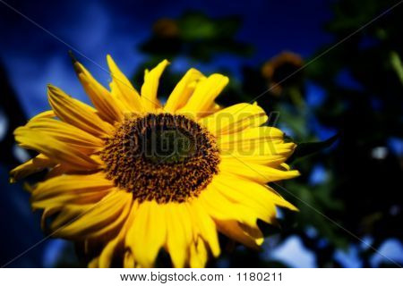 Sun Flower 07