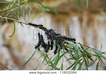 Group of Mourning Cloak larvae feeding on the leaves of a deciduous tree.