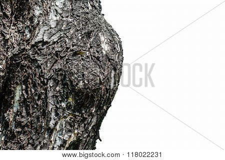 Closeup Cracked Skin Of Trunk Of Tree Texture On White Background With Clipping Path