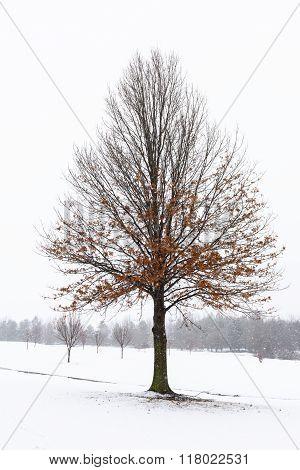 Oak Tree on Snowy Day