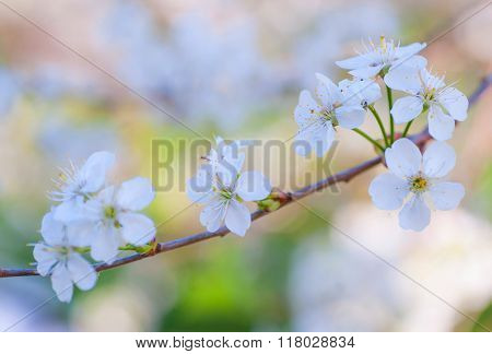 Beautiful Cherry Blossom Close Up