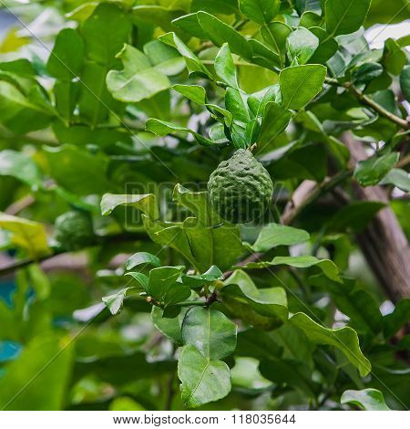 Kaffir lime on tree in nature Thailand