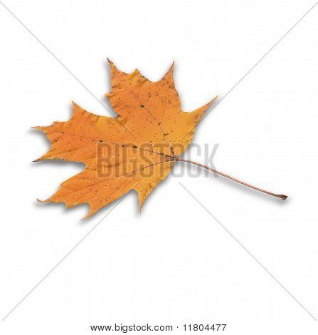 Golden Orange Yellow Autum Maple Leaf Close Up Isolated On White