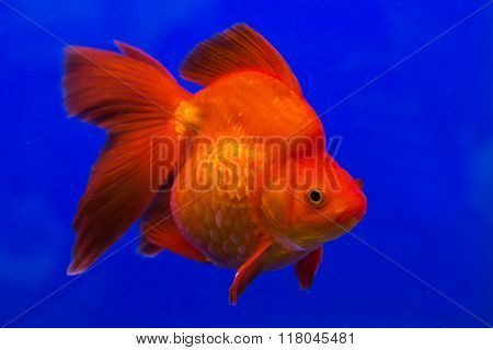 Gold fish swimming in water on blue sky