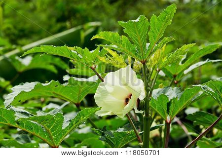 Okra with green flowers in garden on nature background