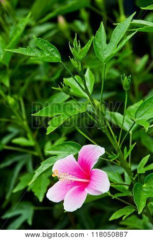 Vivid pink hibicus is blooming in garden on nature background