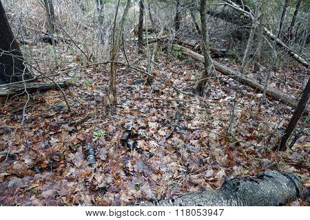 Fallen Leaves on the Forest Floor