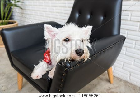White terrier, Westie highland dag