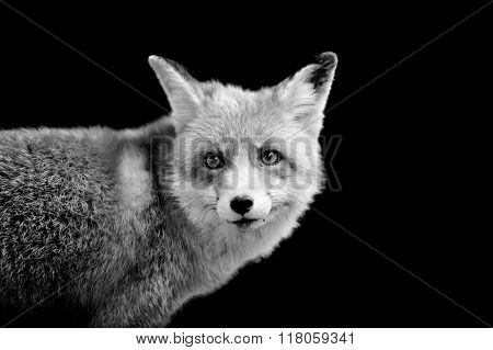 Fox On Dark Background