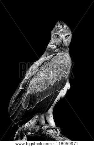 Tawny Eagle On Dark Background