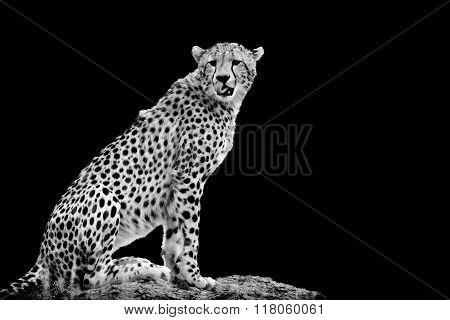 Cheetah On Dark Background