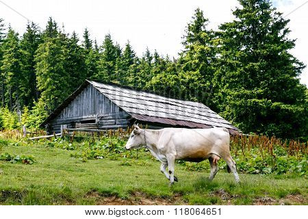 White Cow Near An Abandoned Wooden Shed In The Forest
