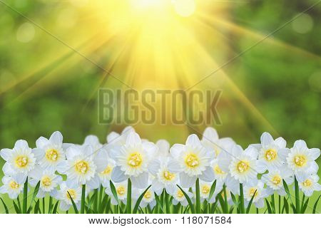 White Narcissus Flowers, Summer Background.