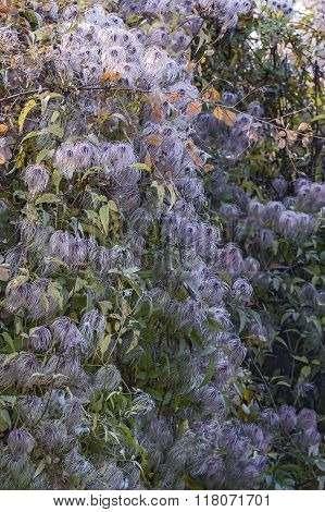 plant clematis in drops of morning dew