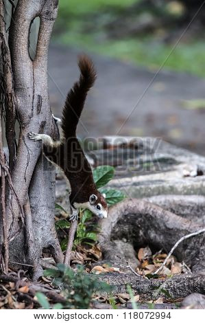 squirrel coming down the tree trunk