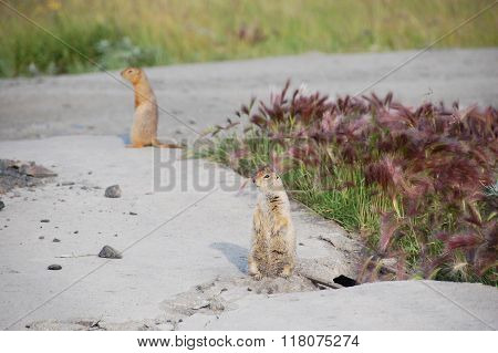 Arctic Ground Squirrels At Roadside