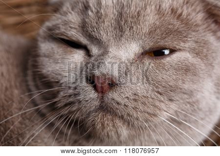 portrait of gray cat with yellow eyes Scottish Fold