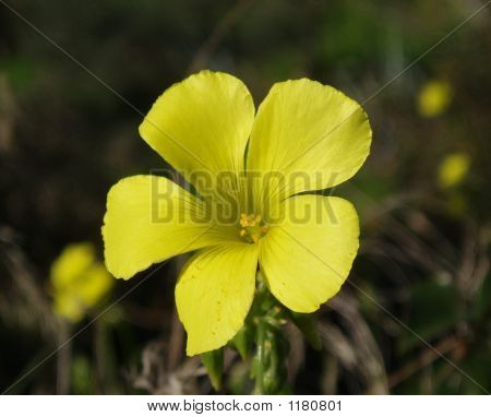 Wildflower Bermuda Buttercups