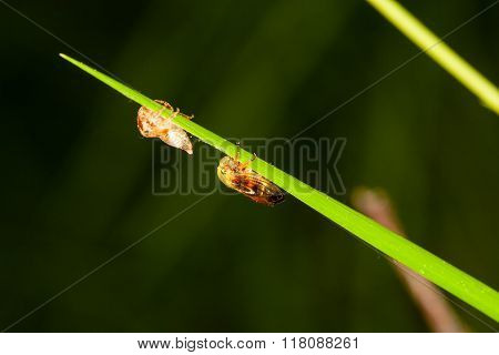 Leafhopper And Its Pupal Case