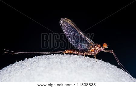 An Ephemerella Mayfly