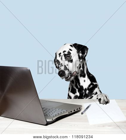 Dalmatian Works At A Laptop