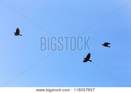 Three Jackdaws In Flight