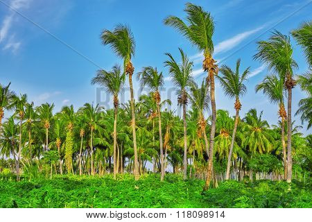 Coconut Tree With Fruits-coconuts,on A Tropical Island In The Maldives, Middle Part Of The Indian Oc