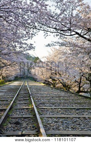 Cherry Blossom over a railway line.