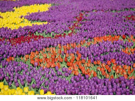 many colorful tulips on fields during spring