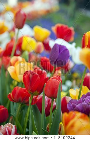 multicolored tulips in a spring park