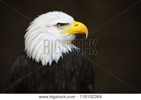 Bald Headed Eagle.