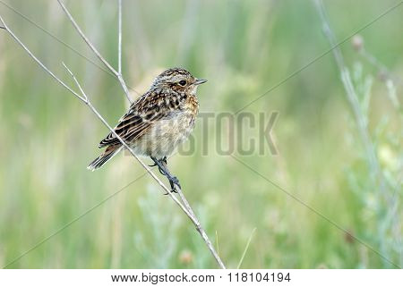 Perching Juvenile Whinchat At Dry Grass