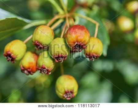 Ripening Fruits Of Viburnum Closeup