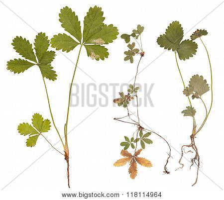Strawberry Plant Isolated
