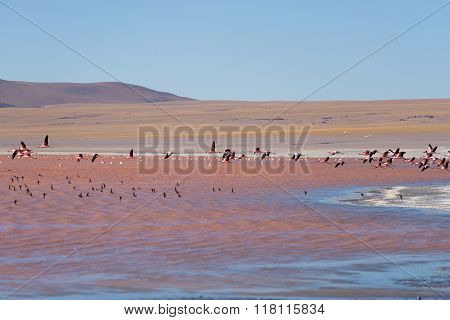 Group Of Pink Flamingo Flying Over Salt Lake, Bolivian Andes