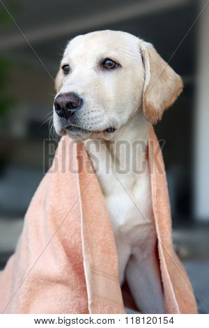 Wet Labrador dog in towel on unfocused background, closeup