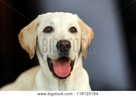 Labrador dog's head with open mouth on unfocused background, closeup