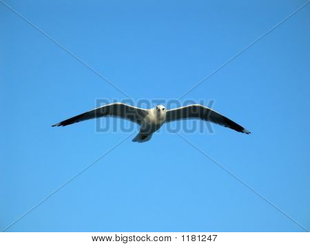 Bird Soaring In Winter Sky