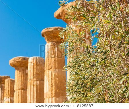 Olive Tree With Columns In The Background In The Valley Of The Temples Of Agrigento