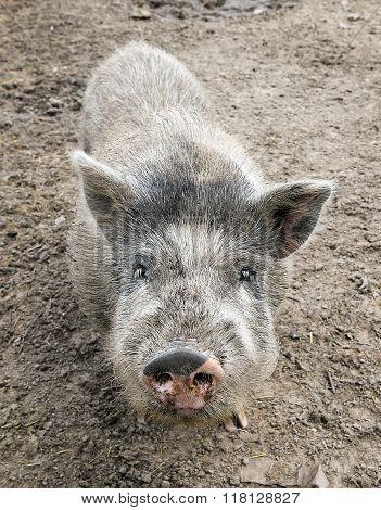 gray dwarf Vietnamese pig