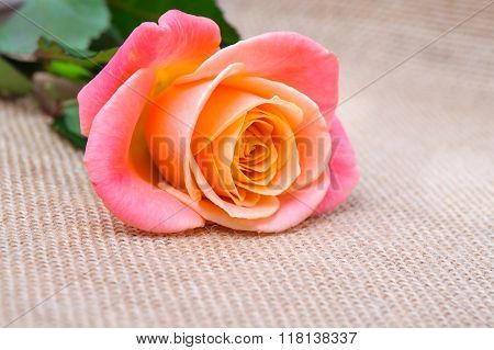 One red-orange rose on the sacking