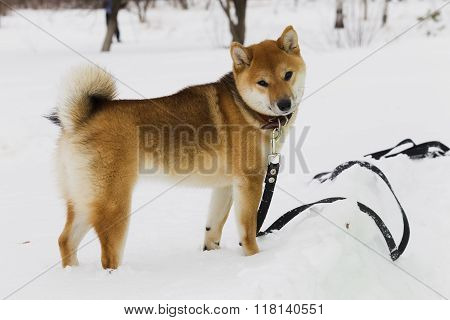 Japanese Dog Breed Shiba Inu In Snow