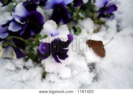 hat Bild von Stiefmütterchen unter dem Schnee