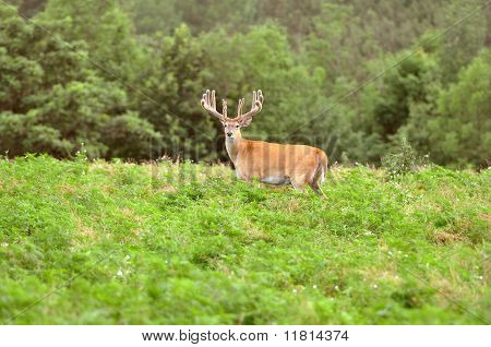 Giant Whitetail Buck