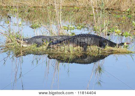 Pair of American Alligator