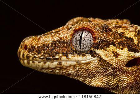 Gargoyle Gecko (rhacodactylus Auriculatus) In Profile