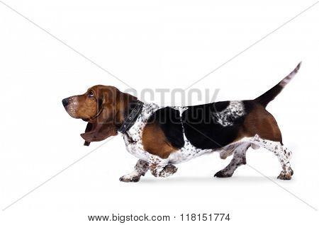 Funny basset hound dog running