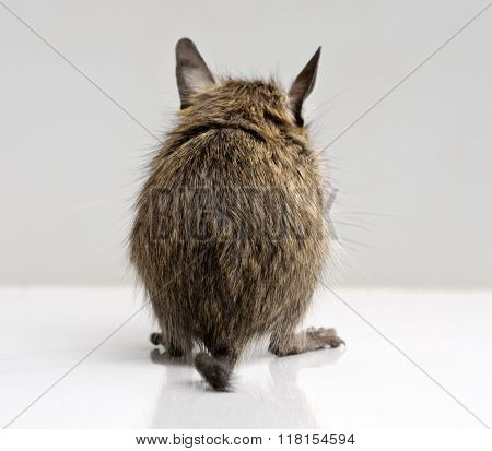 Little Degu