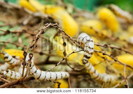 Close up insect Silkworm in nature on tree